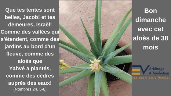 Aloe vera, Aloès, Versets bibliques