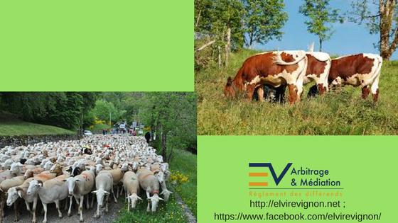 Moutons, bœufs, transhumance, campagne