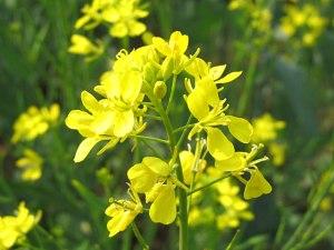 Fleur de sénévé
